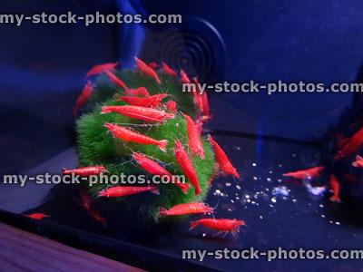 Stock image of red cherry shrimps (Neocaridina davidi), Marimo moss ball