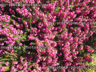 Pink Flowering Heather Erica Covered In Spring Flowers