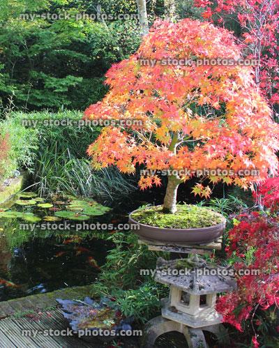 Japanese Maples Bonsai Tree Fall Colours Autumn Leaves Garden Koi Pond Koi Carp Koi Pond Autumn 2 Jpg My Stock Photos Photography Images