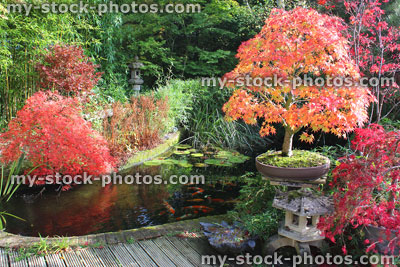 Japanese Maples Bonsai Tree Fall Colours Autumn Leaves Garden Koi Pond Koi Carp Koi Pond Autumn 5 Jpg My Stock Photos Photography Images