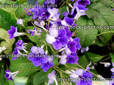 stock image of purple streptocarpus flowers pot plants flowering house plant - Flowering House Plants Purple