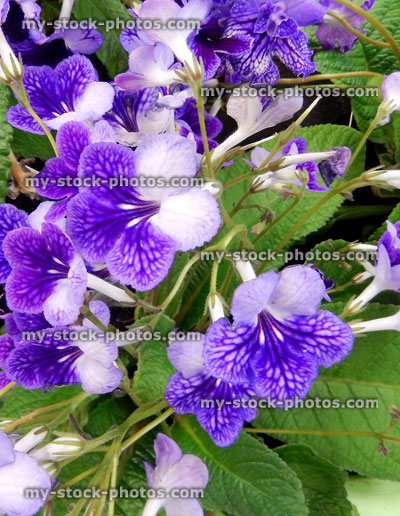 Stock Image Of Purple Streptocarpus Flowers, Pot Plants, Flowering House  Plant ?