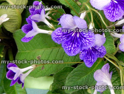stock image of purple streptocarpus flowers pot plants flowering house plant