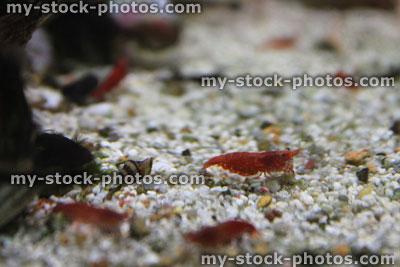 Stock image of freshwater tropical aquarium fish tank, red cherry shrimp