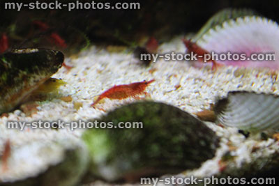 Stock image of freshwater tropical aquarium fish tank, red cherry shrimp