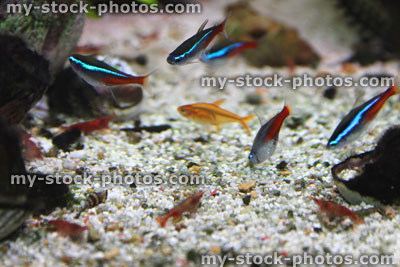 Stock image of freshwater tropical aquarium fish tank, red cherry shrimp, Neon tetra fish, ember tetras